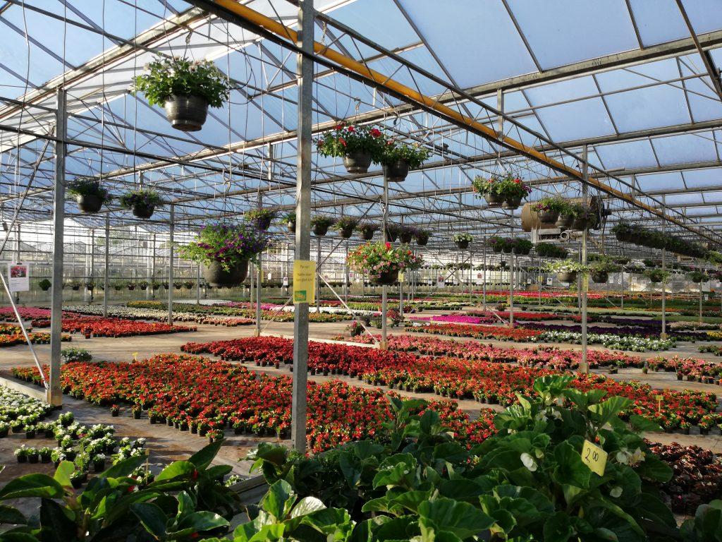 Grote en kleine begonia's