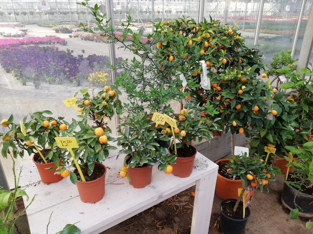 Mandarijnen citrusfruit Kwekerij W.A.J. Gerritsen